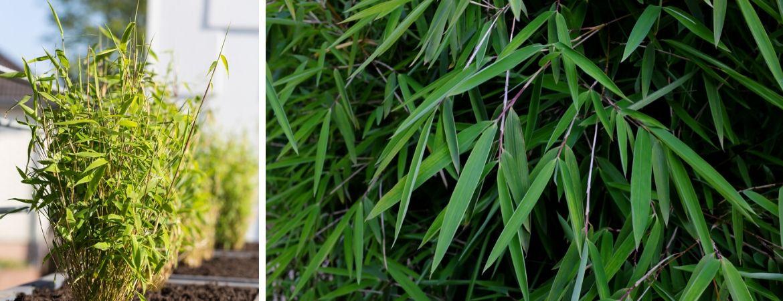 Bamboe kopen | Fargesia | GroenRijk Prinsenbeek | Breda