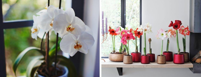 Populaire bloeiende kamerplanten | GroenRijk Prinsenbeek, nabij Breda