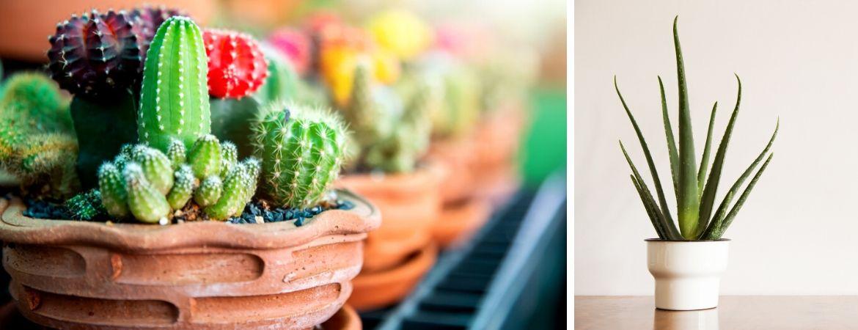 Cactussen en vetplanten | GroenRijk Prinsenbeek, nabij Breda