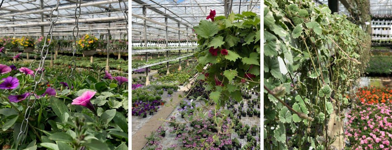 Tuinplanten | GroenRijk Schalk Prinsenbeek | Eigen kwekerij