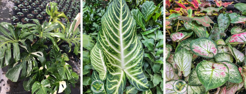 GroenRijk Schalk Prinsenbeek | Bijzondere kamerplanten
